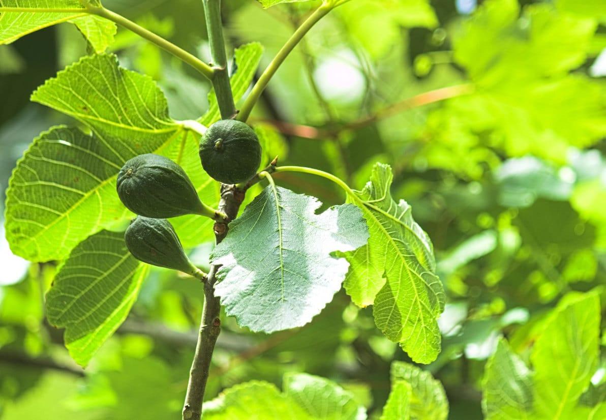 Quel Arbre En Pot Pour Terrasse conseils pour cultiver un figuier au jardin ou en terrasse